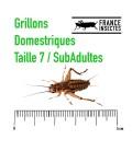 Tube de 350 Grillons Domestiques SubAdultes (T. 7)