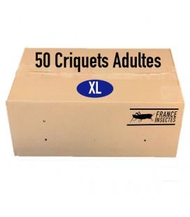 Carton de 50 Criquets Adultes (XL)
