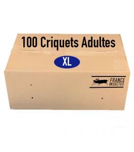 Carton de 100 Criquets Adultes (XL)