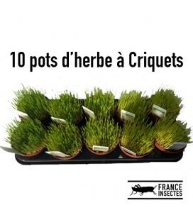 10 pots d'Herbe à Criquets