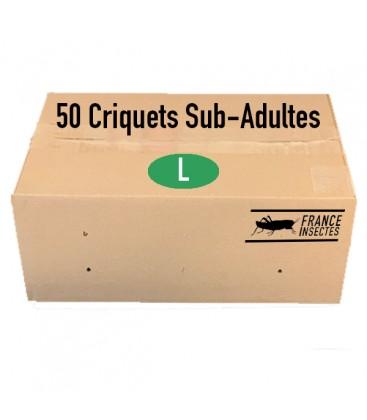 Carton de 50 Criquets Sub-Adultes (L)