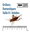 CARTON DE 1 KILO Grillons Domestiques Adultes
