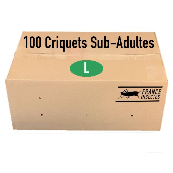 CRIQUETS SUB ADULTES PAR 100