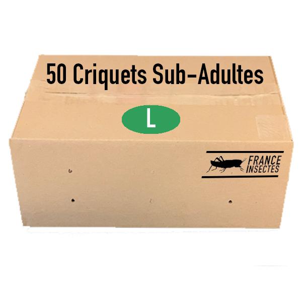 criquets subadultes par 50